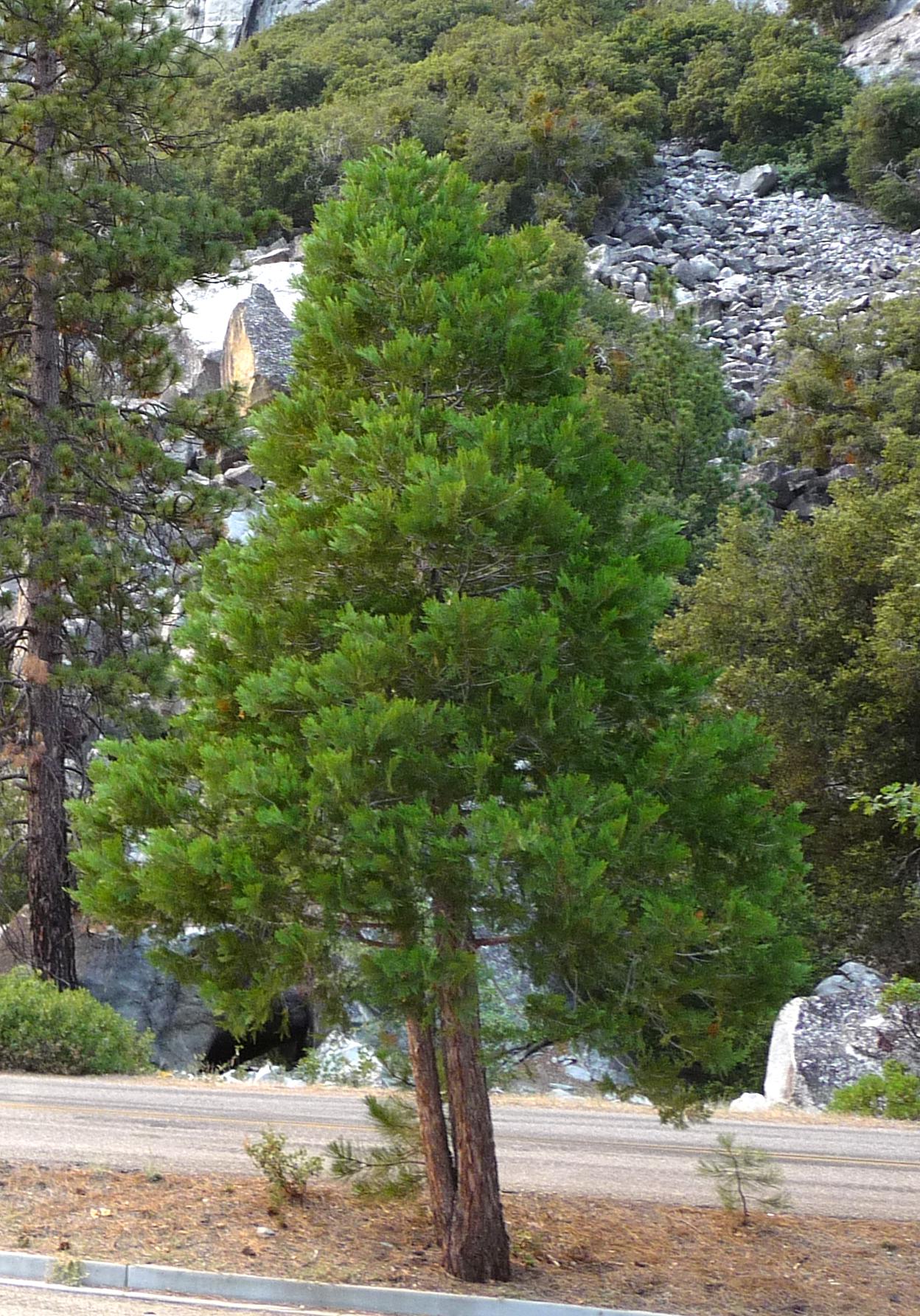 della California ha fiume CEDRO 100 semi Libocedrus acacie incenso CEDRO